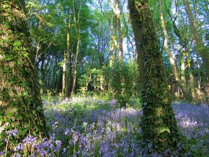 Capponellan Wood, Durrow, Co. Laois.
